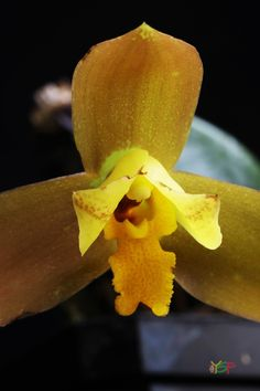 Lycaste Lussier Egg Shape, Pear, Orchids, Banana, Gardening, Fruit, Nature, Flowers, Lawn And Garden
