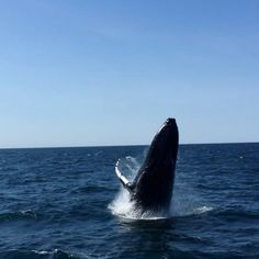 This whale was jumping for joy 🐋