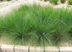 lomandra confertifolia edging