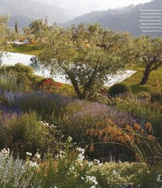 Pool surrounded by olive trees and lavender