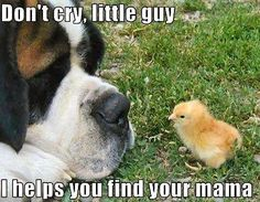 Saint Bernards are so sweet and adorable! :)