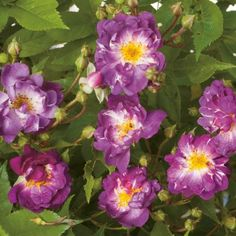 Rosier 'Veilchenblau' (grandes fleurs)