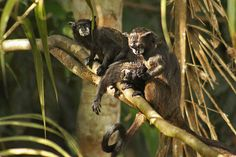 Black Tamarin Monkeys in Ecuador's Amazon Jungle, Also Known as Mono Bebe Leche Because Their Whiskers Look Like They Were Dipped in Milk