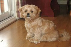 Shih Tzu versus Shichon | Marlen's Designer Dogs: Maltese ...