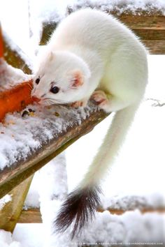 Ermine, aka Stoat or Short-Tailed Weasel.  Photograph: michaela @ thegardenerseden.com