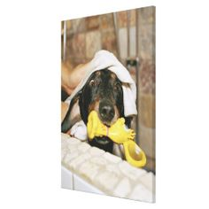 @@@Karri Best price          A dachshund being bathed. canvas prints           A dachshund being bathed. canvas prints This site is will advise you where to buyHow to          A dachshund being bathed. canvas prints lowest price Fast Shipping and save your money Now!!...Cleck Hot Deals >>> http://www.zazzle.com/a_dachshund_being_bathed_canvas_prints-192900146873300633?rf=238627982471231924&zbar=1&tc=terrest
