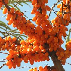 The health benefits of sea buckthorn are so important, and so diverse, that sometimes it is compared to Ginseng. The tiny orange berry, with a.