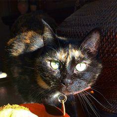 Sun seeking Kitty. #cat #cats #kitty #katanddog #torti #tortie #torties #tortoise #tortiecat #tortiecats #tortielove #tortishell #tortoisecat #tortiseshell #tortoiseshell #tortoiseshellcat #tortoiseshellcats
