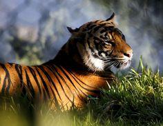 SUMATRAN TIGER by Leslie  Taylor on 500px