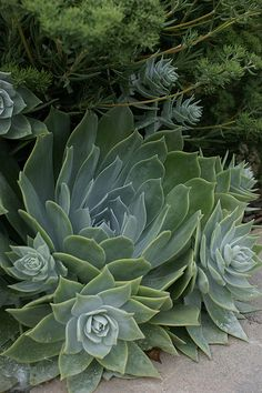 Dudleya pulverulenta | Flickr - Photo Sharing!