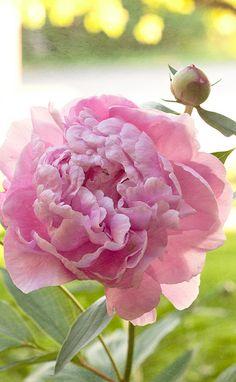 photo.....beauty....pink peony