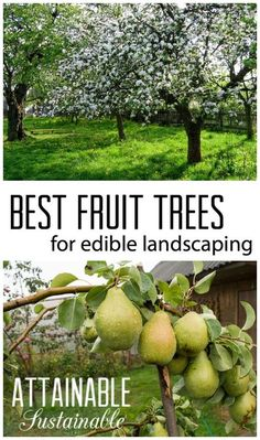 Fruit trees for the urban garden or homestead. Edible landscaping for small spaces.