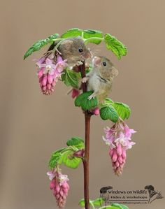 Happiness is in the Air With Those Adorable Harvest Mice Captured by Dean Mason - Adorables Photos de Souris Heureuses de Vivre Cute Baby Animals, Animals And Pets, Funny Animals, Strange Animals, Beautiful Creatures, Animals Beautiful, Harvest Mouse, Hamsters, Rodents