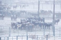 Just a month ago, these wild horses were living their lives free on the range in Wyoming. Now they are incarcerated at BLM's Rock Springs holding facility where they have no shelter from the elements -- snow and frigid temps. Please read the press release from our coalition partner, The Cloud Foundation ( Cloud the Stallion) on this situation. http://www.thecloudfoundation.org/news-events-and-media/press-releases/403-fears-build-for-foals-and-adults-in-subzero-temperatures-and-wind