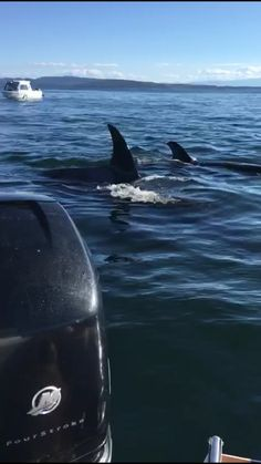 Orcas hunting seal jumps in boat(combined video) // Incredible video.