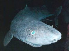 Greenland sharks regularly live to be centuries years old. In fact, they take 150 years old to reach sexual maturity. That's the human equivalent of taking 150 years just to reach age All Sharks, Types Of Sharks, Species Of Sharks, Weird Creatures, Sea Creatures, Monstre Du Loch Ness, Greenland Shark, Frilled Shark, Diving