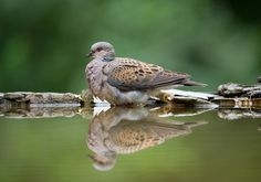 Turtle Dove - Turtle Dove at drinking station, Hungary, 2012