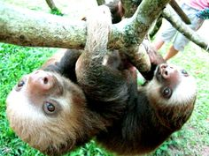 Baby sloths are flirty, | An Inside Look At What It's Like To Be Surrounded By Sloths