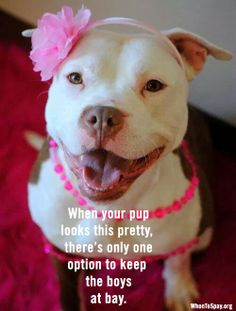 Meet this pretty pitbull. Her name is Miss Piggy. Beautiful Dogs, Animals Beautiful, Cute Animals, Cute Puppies, Cute Dogs, Dogs And Puppies, Doggies, Canis Lupus, Nanny Dog