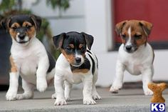 Jack Russell puppies!!!!