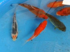 Pinterest the world s catalog of ideas for Live koi fish for sale