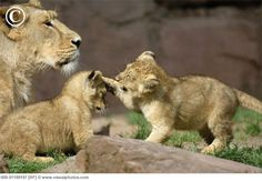 Mom Lioness with Cubs