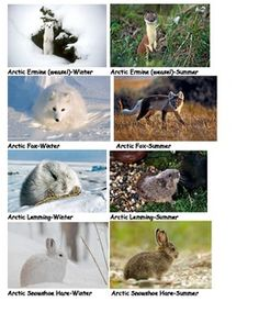 Adaptations: Arctic animal photos give a strong visual for students to understand how animals change to adapt to their environment