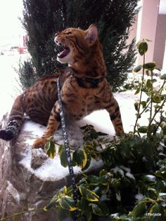 My cat Farrah out in the snow :) #bengal @Snow White