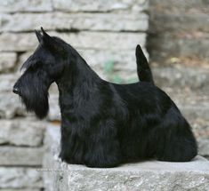 Sadie, the (adorable) 2010 Westminster Best in Show Champion, hails from Mackinac Island. I love, love, love Scotties!! :-)