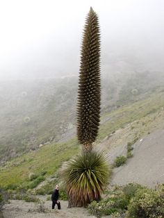 A Puya Raymondii, the biggest bromeliad, at Punta Winchus