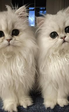 Twin marshmallows.  These Cats Are So Fluffy They Don't Look Real