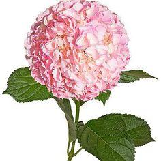 Painted Hydrangeas, Metallic Pink (Choose 14 or 26 stems) - Sam's Club Fresh Flowers, Beautiful Flowers, Exotic Flowers, Purple Flowers, Wild Flowers, Lush Beauty, Flower Food, Cactus Flower, Thing 1