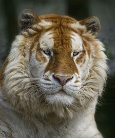 Golden tiger    Photography by © Alida Jorissen #Wildgeography