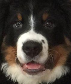 Animals – The Toledo Zoo &amp Bernese Mountain, Mountain Dogs, Bernice Mountain Dog, Bernese Dog, Puppies, Pets, Bliss, Animals, Bernese Mountain Dogs