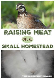 Welcome Heather from The Homesteading Hippy today as she shares her best advice for raising meat on a small homestead. She lives on only of an acre, yet does an amazing job of growing her own food. I'm definitely inspired! We live on a rather small ho Raising Quail, Raising Rabbits, Homestead Farm, Homestead Survival, Survival Skills, Survival Prepping, Alaska Homestead, Urban Survival, Survival Life