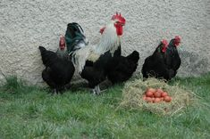 Maransky, sliepky, ktoré znášajú čokoládové vajíčka. Rooster, Animals, Chicken, Animales, Animaux, Animal, Animais, Cubs