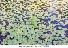 Pond with fully of lotus leaves can be used as background - stock photo