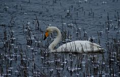 Swans, Finland, Natural Beauty, Country, Friends, Nature, Animals, Art, Amigos