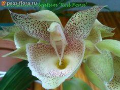 Catasetum Pileatum 'red Pena'