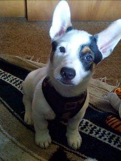 My Cowboy Corgi puppy Reilly. Cowboy Corgi, Corgi Mix, Corgis, Boston Terrier, Pitbulls, Puppies, Blue, Animals, Boston Terriers