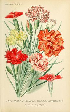 img/dessins plantes et fleurs jardins et appartements/dessin de fleur de jardin 0083 oeillet des fleuristes - dianthus caryophyllus.jpg