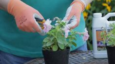 """How to care for: Petunias- how to """"deadhead"""" video"""