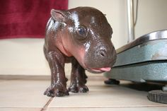 """""""Hippopotami are considered the most dangerous animals in Africa. This little guy? Not so much. He's a pygmy hippopotamus -- a smaller, less ferocious, and endangered hippo cousin. And he's only two weeks old."""""""