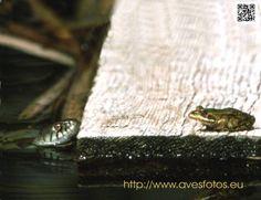Culebra de collar - natrix natrix. Culebra de collar acechando una rana