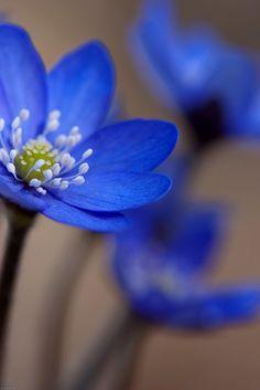 blue blue flower