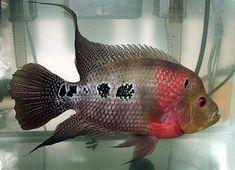Female Flowerhorn Fish | Flowerhorn