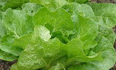 Tipps gegen Erdflöhe am Gemüse