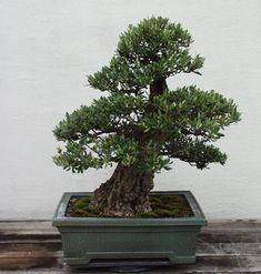 olive bonsai | UFEI - SelecTree - Tree Detail Record