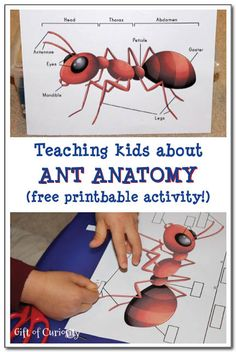 A free printable cut-and-paste activity to teach kids about the anatomy of an ant.  This printable activity would make a great addition to any learning about ants. #insectprintables #ants #handsonlearning || Gift of Curiosity