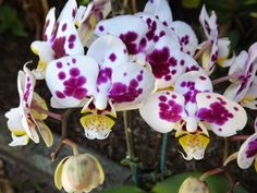 http://myorchidsjournal.blogspot.com.au/2015/01/my-flowering-phalaenopsis-orchids-today.html